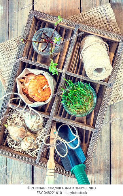 Gardening and planting concept. Seedlings garden tools tubers bulbs gladiolus and hyacinth branch of trees with buds in wooden box