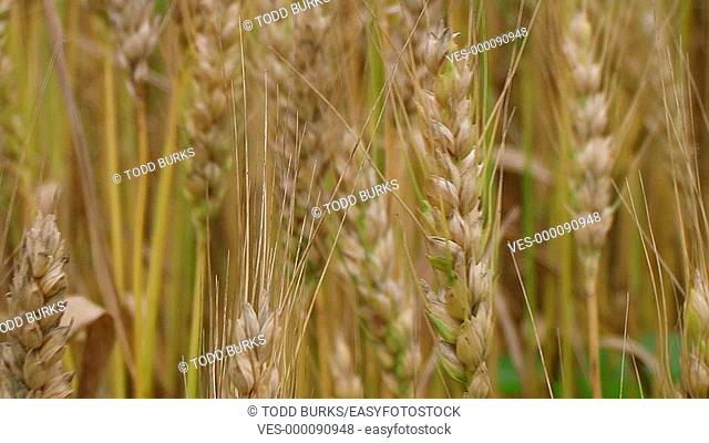 Golden wheat heads, macro