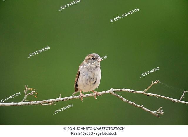 Olive sparrow (Arremonops rufivirgatus), Rio Grande City, Texas, USA