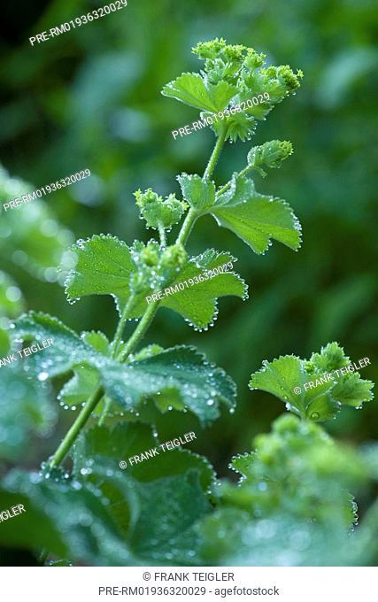 Lady's Mantle, Alchemilla mollis / Weicher Frauenmantel, Alchemilla mollis