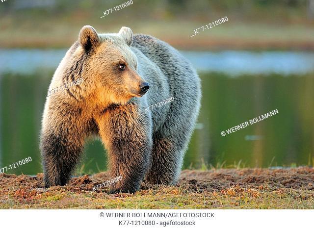 European Brown Bear (Ursus arctos), Finland