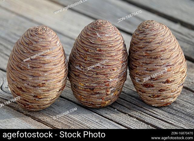 Cedrus atlantica, Atlas Zeder, atlas cedar, Zapfen, cones