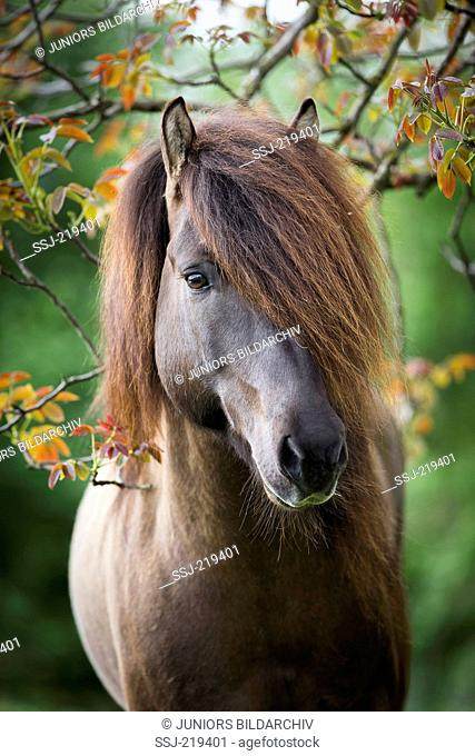 Islandic Horse. Portrait of a stallion. Austria