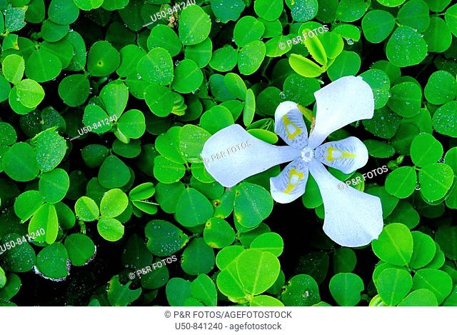 Blue flower between Desmodium sp , Fabaceae, Rio Branco, Acre, Brazil