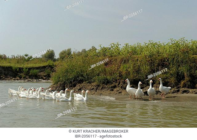 Geese, Danube Delta, Romania, Europe