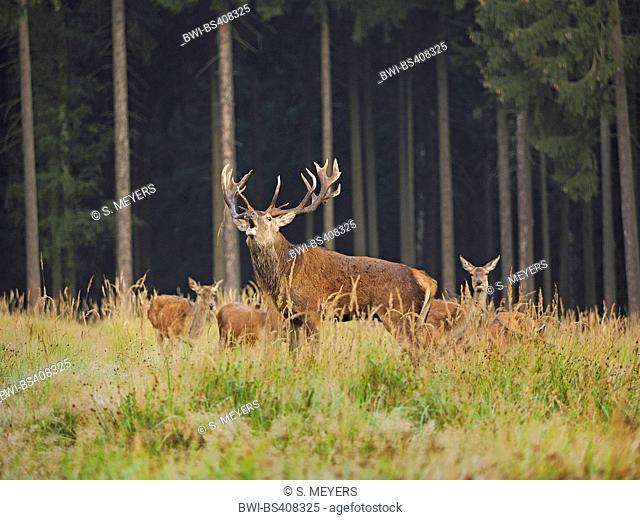 red deer (Cervus elaphus), roaring alpha male with hinds in rutting season, Germany, Saxony