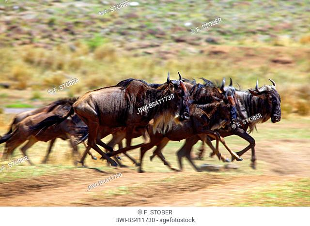 Eastern White-bearded Wildebeest (Connochaetes taurinus albojubatus), running herd, Kenya, Masai Mara National Park