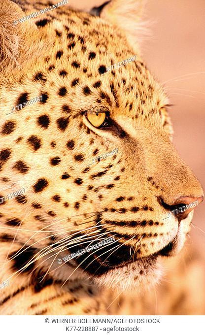 Leopard (Panthera pardus), captive. Namibia
