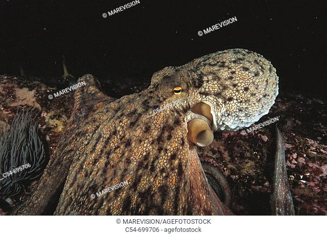 Eastern Atlantic. Galicia. Spain. Octopus (Octopus vulgaris)