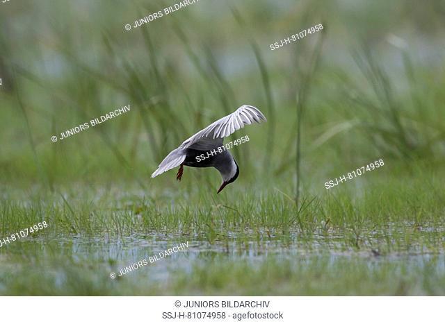 Whiskered Tern (Chlidonias hybrida). Adult in flight. Brandenburg, Germany
