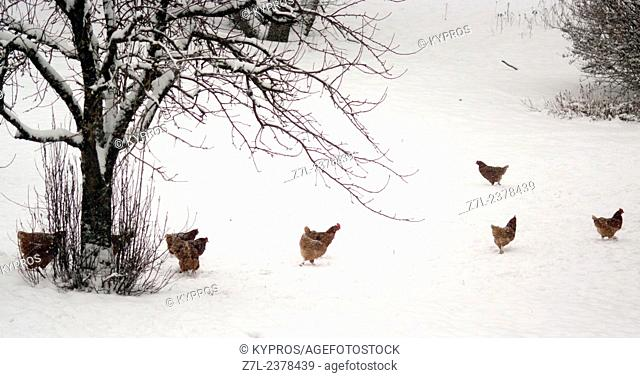 Chicken Farm Cold Weather Winter Snow Scene Bavaria Germany Europe