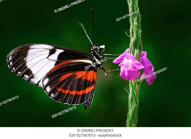 Butterfly Cydno Longwing, Heliconius cydno chioneus, in nature