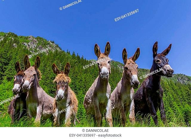 Six curious funny donkeys looking in the same direction in the mountains