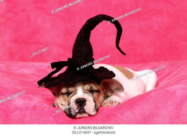 French Bulldog. Puppy (9 weeks old) sleeping on a pink blanket, wearing a witch head. Germany