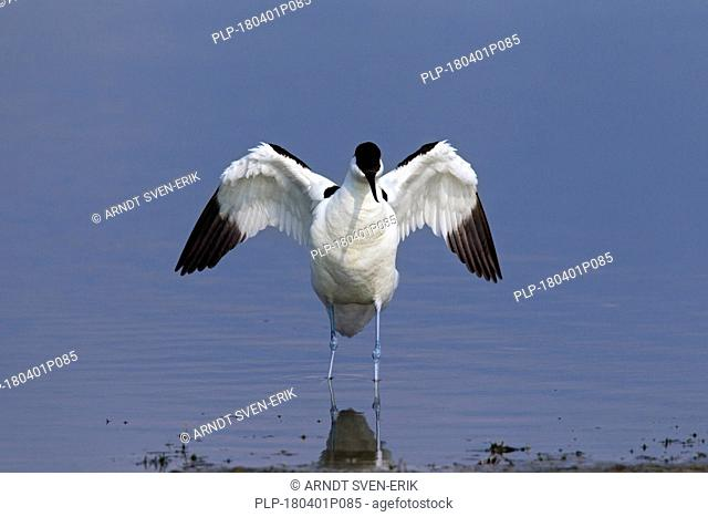 Pied avocet (Recurvirostra avosetta) in shallow water flapping wings