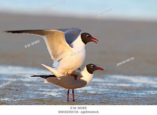 laughing gull (Larus atricilla), mating, USA, Florida