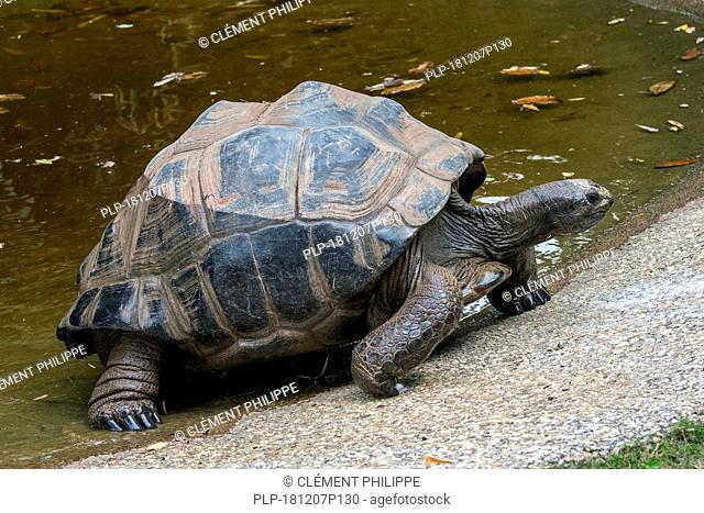 Aldabra giant tortoise (Aldabrachelys gigantea / Testudo gigantea) native to the islands of the Aldabra Atoll in the Seychelles leaving pond