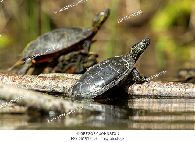 Two America Painted turtles (chrysemys picta) bask in the sun on a log on Fernan Lake in Idaho