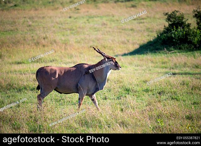 The Eland, the largest antelope, in a meadow in the Kenyan savanna