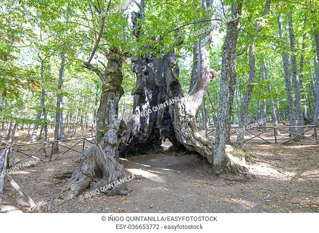 great open in cave trunk ancient six hundred years old chestnut tree, known as the Grandfather, in mountain in Castanar of Tiemblo, Iruelas, Avila, Castile