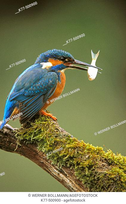 Eurasian kingfisher, male with fish (Alcedo atthis). Germany