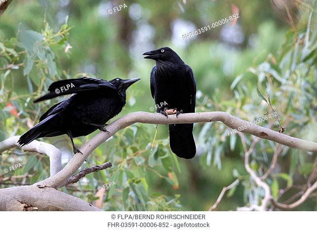 Australian Raven (Corvus coronoides) adult with young, begging for food, Kangaroo Island, South Australia, Australia, February