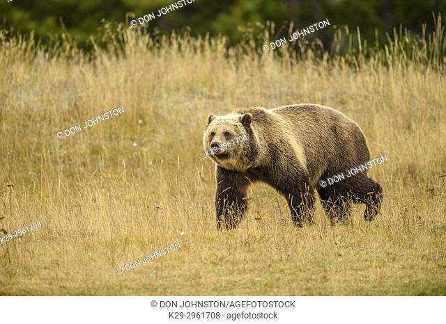Grizzly bear (Ursus arctos)- Walking in grassy areas above the Chilko River, Chilcotin Wilderness, BC Interior, Canada