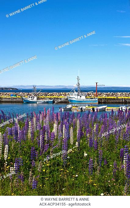 Lupines Lupinus perennis along Green Harbour, Newfoundland and Labrador, Canada