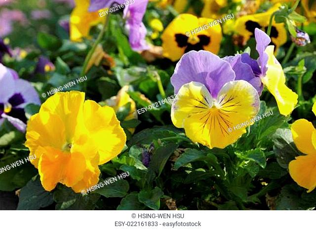 Spring pansy flowers in a flower garden