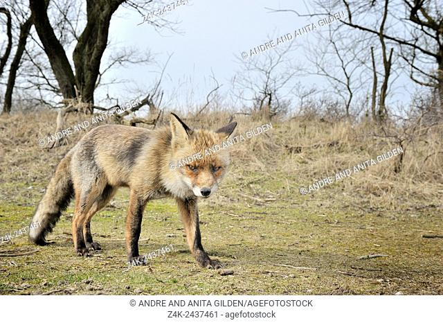 Red Fox (Vulpes vulpes) standing close up looking at camera, Netherlands
