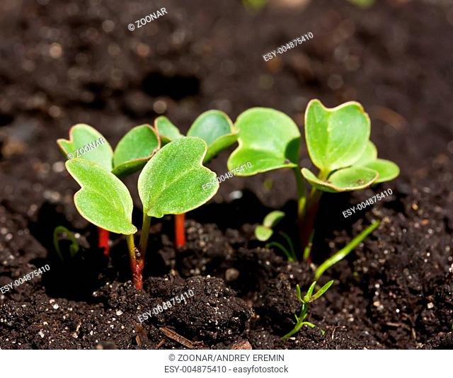 Group of radish sprouts