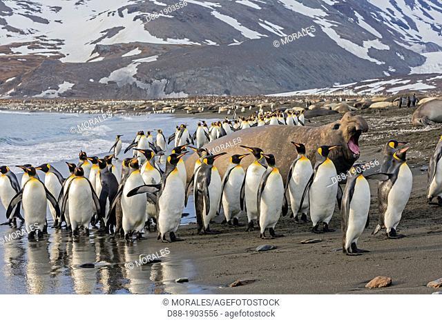United Kingdom, South Georgia Islands, Saint Andrews plains, King Penguin, Aptenodytes patagonicus, adults