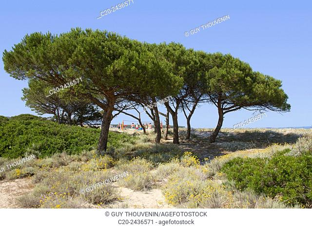 Sandy path to the beach, scrub plants and pine trees in the background, Costa degli Oleandri, near Ottiolu harbour, Sardinia, Italy