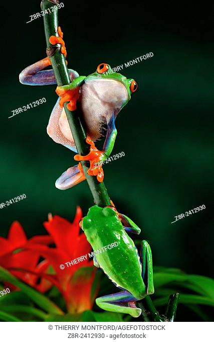 Agalychnis callidryas. Red eyed tree frogs on a little branch. Costa Rica