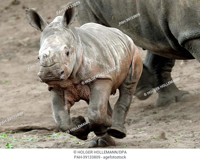 Two-months-old rhinoceros Makena makes its first trips in the Serengeti Park in Hodenhagen, Germany, 30 April 2013. The name Makena derives from Kikuyu language...