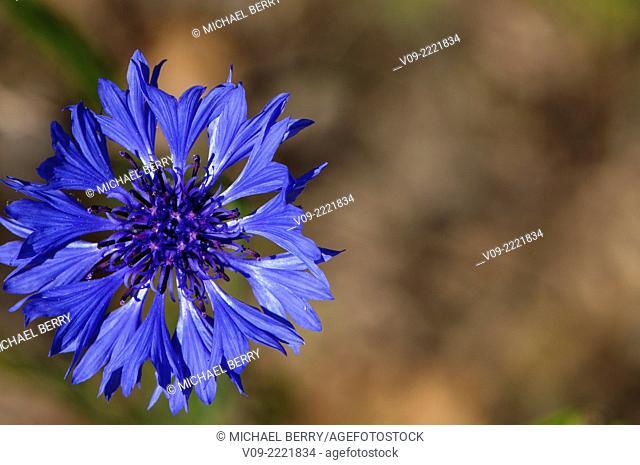 Bachelor Button Wildflower