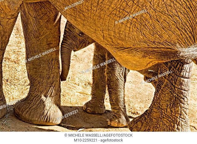 A young elephant being shy behind it's mother
