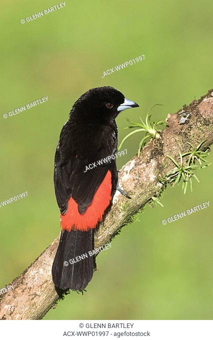 A male Scarlet-rumped Tanager Ramphocelus passerinii in Costa Rica