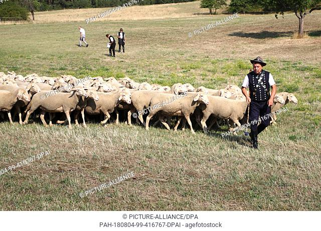 04 August 2018, Germany, Hohenfelden: Shepherd Bernd Angelroth herds a herd of sheep on the 27th Thuringian Shepherds' Day