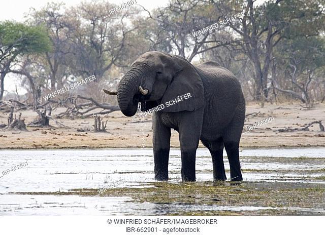 African Bush Elephant (Loxodonta africana) drinking, Moremi Wildlife Reserve, Botswana, Africa