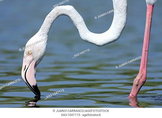 greater flamingo Phoenicopterus ruber at lagoon, Valencia, Spain