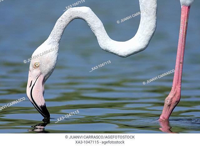 greater flamingo Phoenicopterus ruber at lagoon, Valencia, Spain