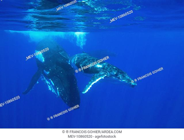 Humpback whale - mother and calf (Megaptera novaeangliae). Vava'u, Tonga, South Pacific. A third whale is visible in the background; it is an 'escort'