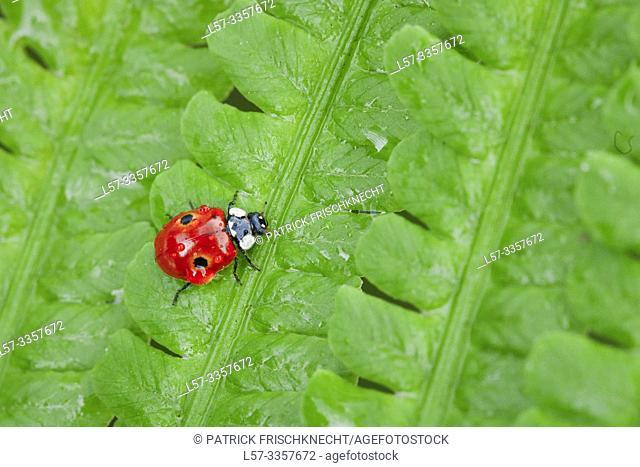 ladybird, Coccinellidae, on fern, Switzerland
