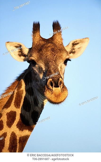 Giraffe portrait (Giraffa camelopardalis angolensis). Moremi National Park, Okavango Delta, Botswana, Southern Africa