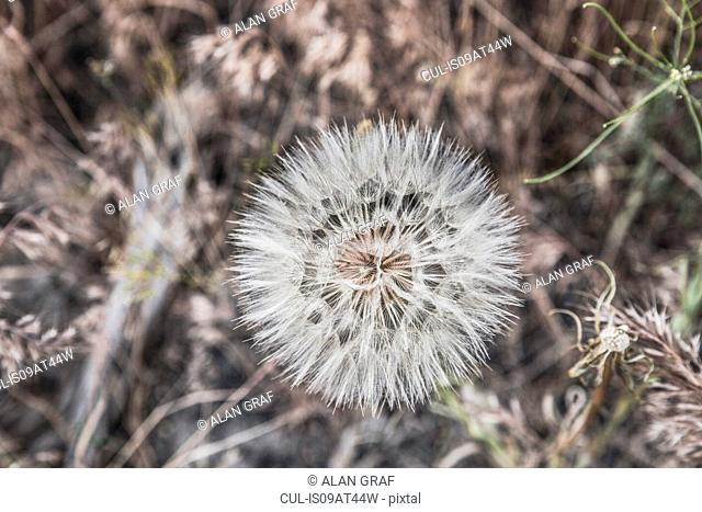 Close up of dandelion clock