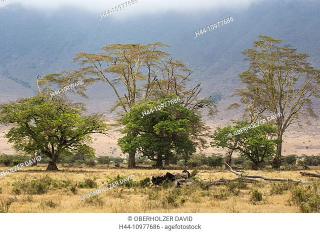 Africa, trees, scenery, landscape, Ngorongoro, Conservation area, protective area, Ngorongoro crater, travel, savanna, Tanzania, East Africa