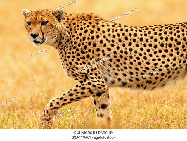 cheetah - creeping - lateral / Acinonyx jubatus