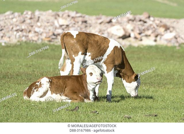 China, Inner Mongolia, Hebei Province, Zhangjiakou, Bashang Grassland, veal in the prairie
