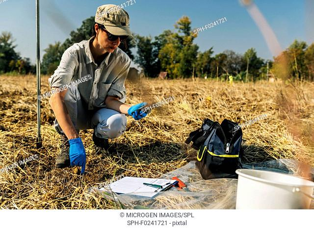 Soil scientist measuring soil temperature